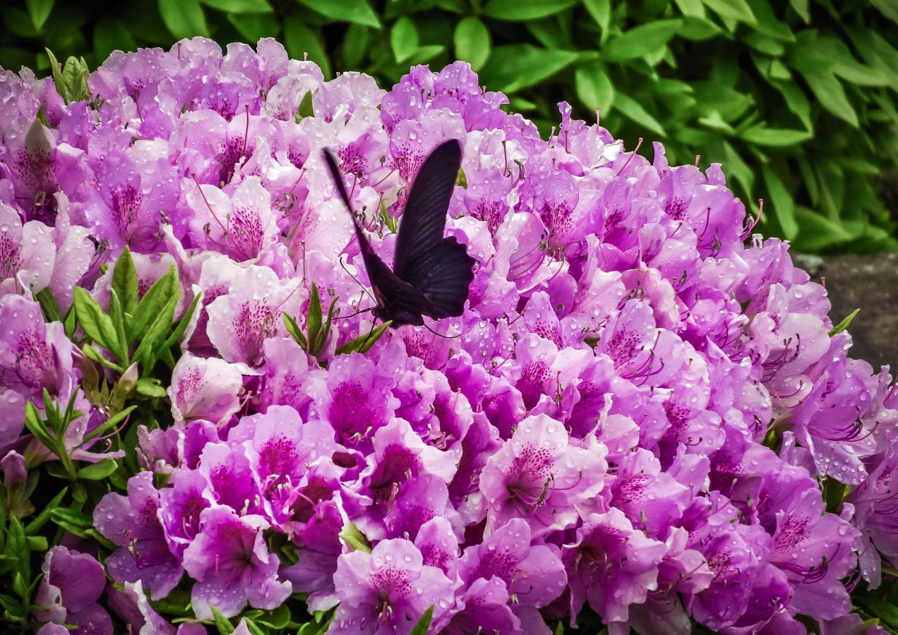 雨上がりの蝶